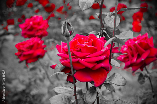 red-rose-on-the-branch-in-the-garden