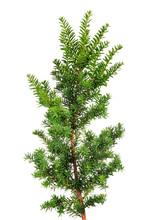 Branch Yew ( Taxus Cuspidata )