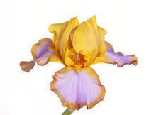 Single Flower Of Iris Cultivar...