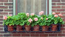 Geraniums In Wrought Iron Window Box