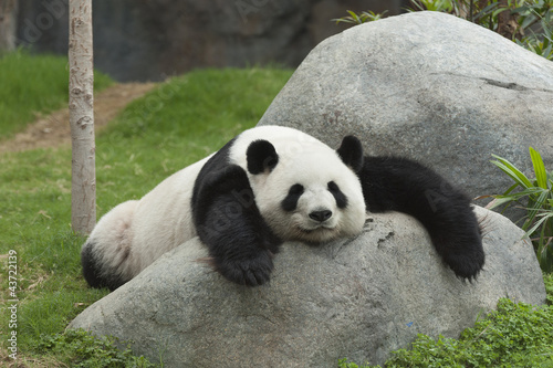 Stickers pour porte Panda Giant panda bear sleeping