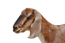 Head Of A Goat Isolated On White