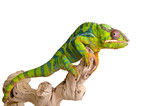 Fototapeta Animals - Colorful chameleon