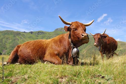 Vache Vaches salers dans les montagnes cantaliennes