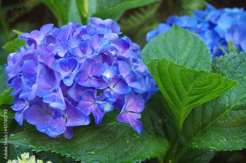 Staande foto Hydrangea Fleurs d'Hortensia