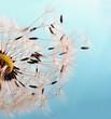 canvas print picture - Abflug: Flugschirme der Pusteblume beim Start