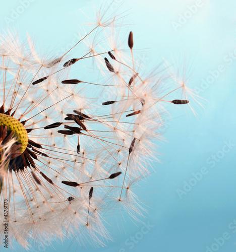 Fototapety, obrazy: Abflug: Flugschirme der Pusteblume beim Start