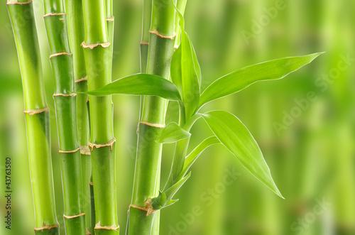 Naklejka premium bambus
