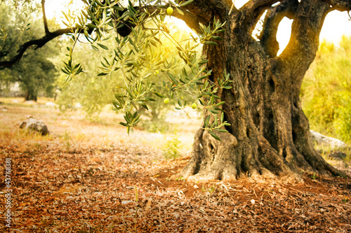 In de dag Olijfboom Old olive tree