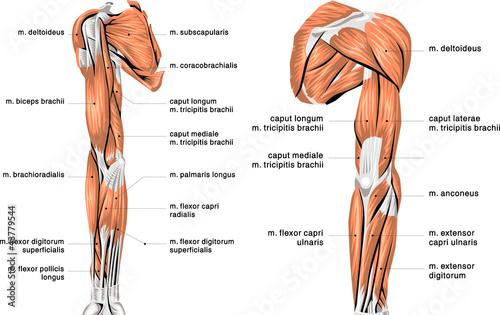 Foto  human arm muscles