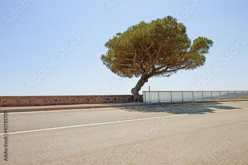 Photo Maritime Pine tree coastal road to Saint Tropez. Provence, Franc