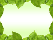 Fresh Green Elm Leaves Border Isolated On White With Copy Space