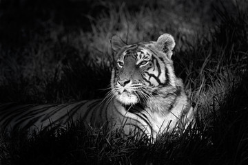 Panel SzklanyMonochrome image of a bengal tiger