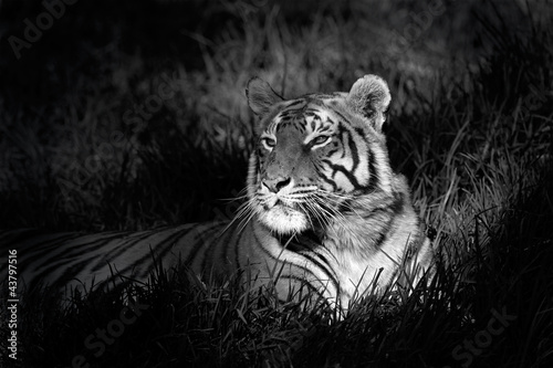 Monochrome image of a bengal tiger