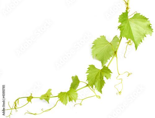 Fotografía green wine leaves