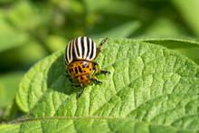 Dorifora Delle Patate (Leptinotarsa Decemlineata)