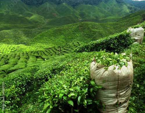 green tea plantation landscape - 43814730