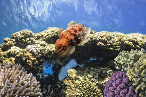Poster Sous-marin Cuttlefish(Sepiida)