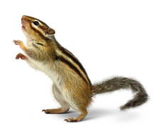Chipmunk Isolated On White