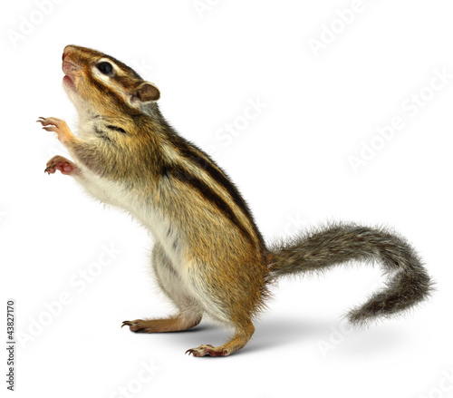 Poster Eekhoorn Chipmunk isolated on white