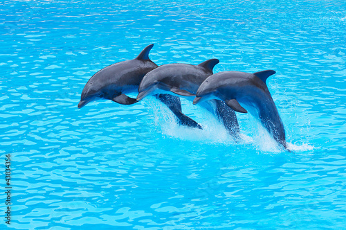 Stickers pour portes Dauphins Leaping Bottlenose Dolphins, Tursiops truncatus
