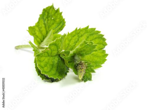 Fotografie, Obraz  Fresh green mint
