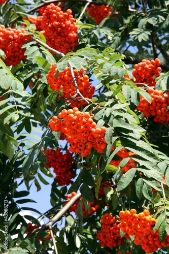 Fotografie, Obraz  rowan tree with berries