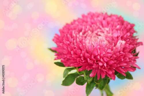 Foto op Canvas Madeliefjes pink aster