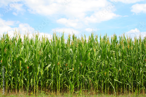 Fotografia Corn green field