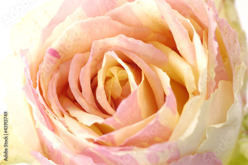 Close up of rose - 43913749