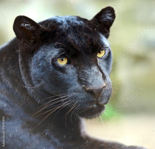 Poster Panter Leopard portrait