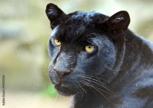 Canvas Prints Panther Leopard portrait