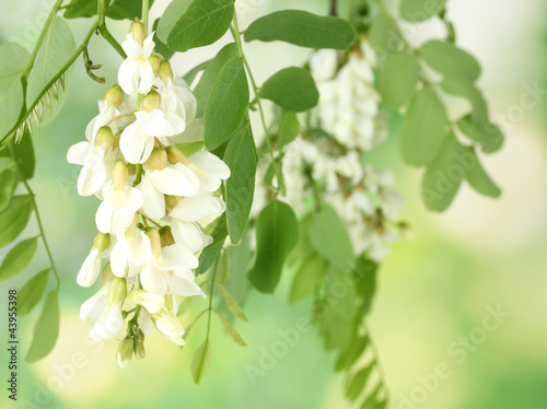 Branch of white acacia flowers on green background Canvas Print
