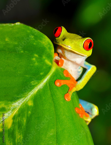 red eyed green tree or gaudy leaf frog , costa rica