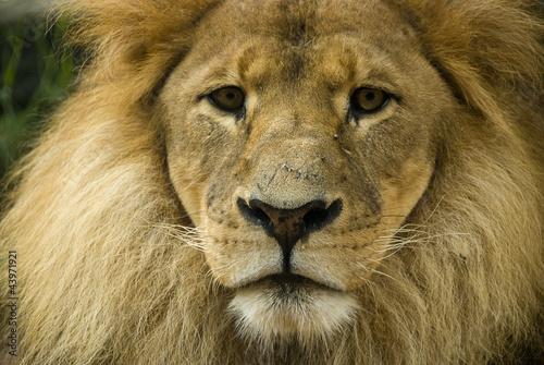 Staande foto Leeuw Close up of lion front on