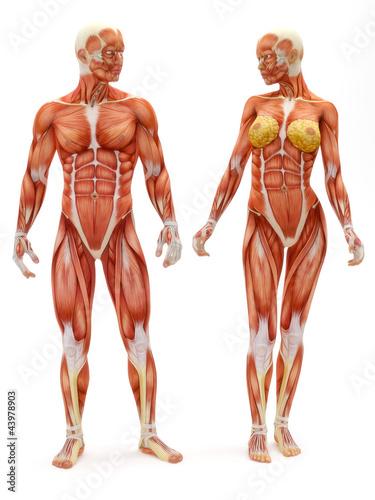 Obraz na plátně Male and Female musculoskeletal system