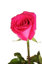 Beautiful Pink Rose On White Background Close-up