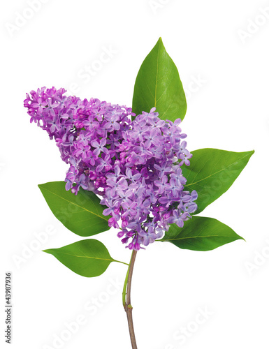 Fotobehang Lilac Beautiful Lilac branch isolated on white