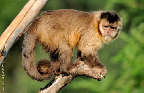 Photo  Capuchin monkey