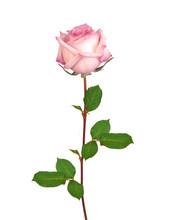 Beautiful Single Pink Rose Iso...