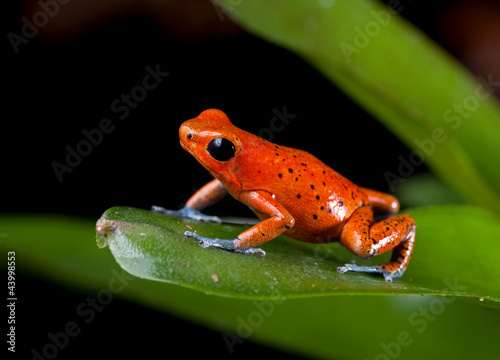 red poison dart frog Tableau sur Toile