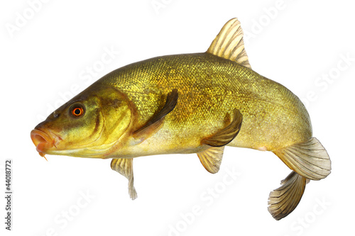 Valokuvatapetti carp, tench, colored fish swimming free