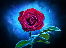 Purple-red Flower Rose