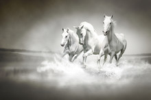 Herd Of White Horses Running T...