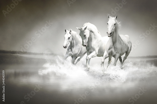 Fototapeta Herd of white horses running through water obraz