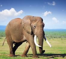 Elephant With Large Tusks