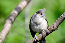 Young Tufted Titmouse Perched In A Tree