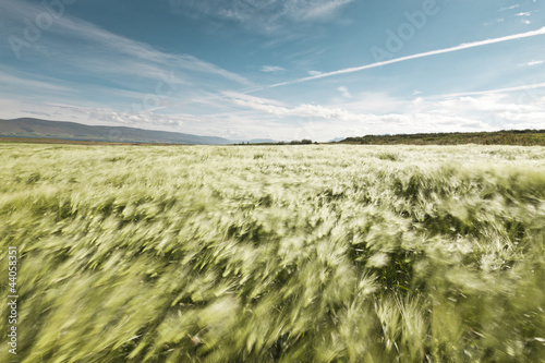 Foto Wheatfield blowing in the wind