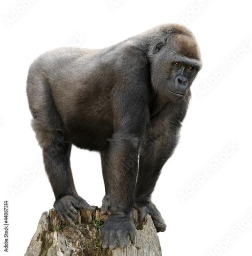 Gorilla auf Ausguck, Freisteller Poster