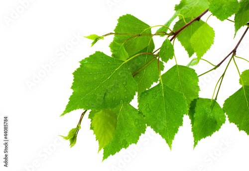 Photographie Branch of the green, young birch leaves